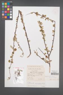 Cotoneaster nummularius [KOR 13181]
