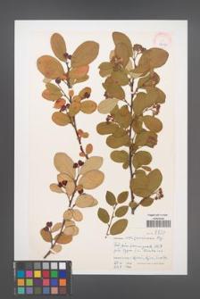 Cotoneaster soczavianus [KOR 27677]