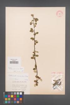 Cotoneaster transcaucasicus [KOR 13191]