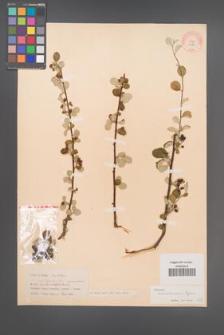 Cotoneaster transcaucasicus [KOR 13165]