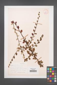 Cotoneaster [KOR 27667]
