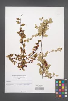 Cotoneaster [KOR 49677]