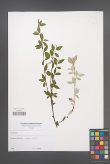 Cotoneaster [KOR 49670]