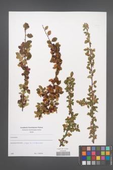 Cotoneaster [KOR 49645]
