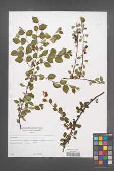Cotoneaster [KOR 49642]