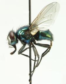 Neomyia cornicina (Fabricius, 1781)