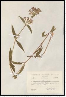 Saponaria officinalis L.