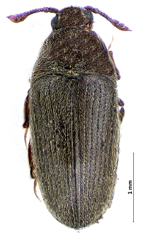 Trixagus dermestoides (Linnaeus, 1767)