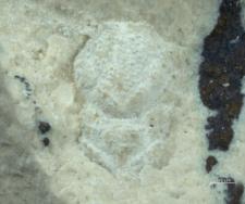 Gastrodorus bzowiensis