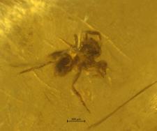 Araneae