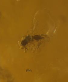 Hymenoptera (Apocrita)