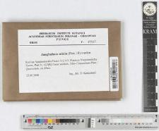 Lactarius helvus Fr.