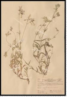 Silene vulgaris (Moench) Garcke