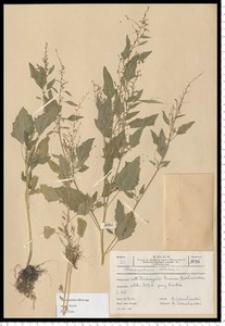 Chenopodium album L.