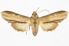 Shargacucullia lychnitis