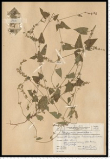 Fallopia convolvulus (L.) Á. Löve