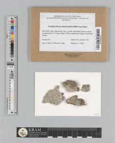 Tylophorella pyrenocarpoides (Müll.Arg.) Egea