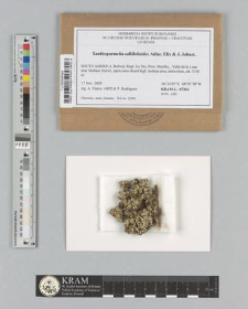 Xanthoparmelia callifolioides Adler, Elix & J. Johnst.