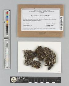 Hypotrachyna chicitae (Hale) Hale