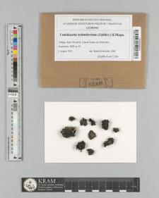Umbilicaria nylanderiana (Zahlbr.) H. Magn.