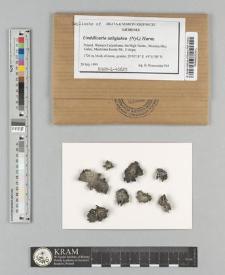 Umbilicaria subglabra (Nyl.) Harm.