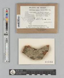 Leptotrema wightii (Taylor) Müll. Arg.