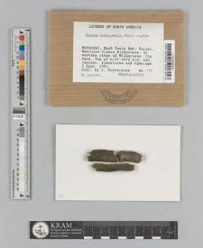 Micarea globulosella (Nyl.) Coppins