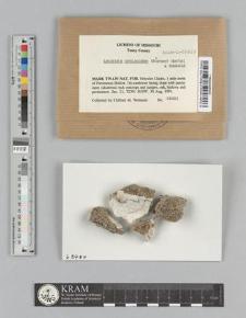 Lecanora oreinoides (Körb.) Hertel & Rambold