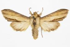 Shargacucullia scrophulariae
