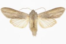 Cucullia balsamitae