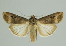 Apterogenum ypsillon (Denis & Schiffermüller, 1775)