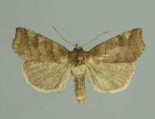 Ipimorpha retusa (Linnaeus, 1761)