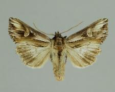 Actinotia polyodon (Clerck, 1759)