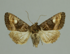 Euplexia lucipara (Linnaeus, 1758)