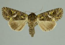 Trachea atriplicis (Linnaeus, 1758)