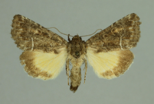 Thalpophila matura (Hufnagel, 1766)
