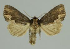 Dypterygia scabriuscula (Linnaeus, 1758)