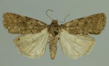 Athetis gluteosa (Treitschke, 1835)