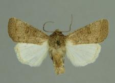 Hoplodrina ambigua (Denis & Schiffermüller, 1775)