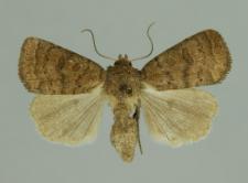 Hoplodrina blanda (Denis & Schiffermüller, 1775)