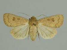 Hoplodrina octogenaria (Goeze, 1781)