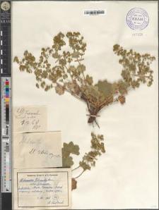 Alchemilla filicaulis Buser subsp. filicaulis