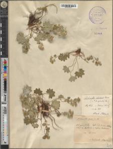 Alchemilla gracilis Op.
