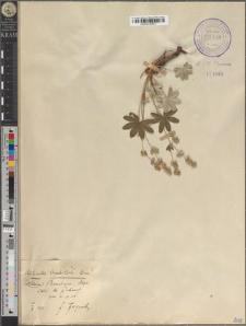 Alchimilla leptoclada Buser