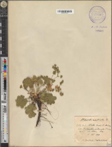 Alchemilla monticola Op.