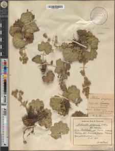 Alchemilla propinqua Lindb. fo. aprica