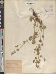 Alchemilla pubescens Lam [?]