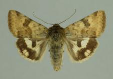 Heliothis viriplaca (Hufnagel, 1766)