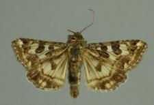 Protoschinia scutosa (Denis & Schiffermüller, 1775)