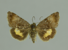 Panemeria tenebrata (Scopoli, 1763)